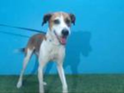 Adopt ROCKY a Brown/Chocolate - with White Labrador Retriever / Mixed dog in
