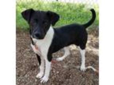 Adopt Bledsoe a Black Retriever (Unknown Type) / Mixed dog in Chattanooga
