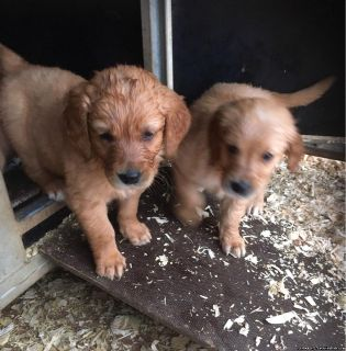 Working Golden Retriever Boy Puppies