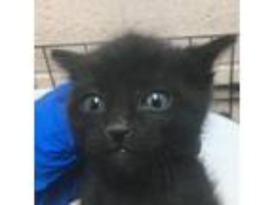 Adopt 88328 a All Black Domestic Shorthair cat in Las Cruces, NM (25559994)