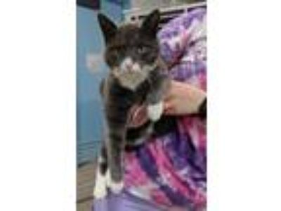 Adopt Alvin 26275-c a Gray or Blue Domestic Shorthair / Domestic Shorthair /