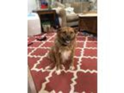 Adopt Rosie a Brown/Chocolate - with White Australian Shepherd / Basenji dog in