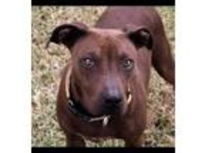 Adopt Sweet Georgia Brown a Labrador Retriever / Mixed dog in Cuero