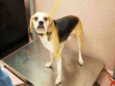 Adopt CRACKLE a Tricolor (Tan/Brown & Black & White) Beagle / Pug / Mixed dog in