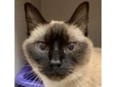 Adopt Bella a Siamese / Mixed cat in Fairport, NY (25256589)
