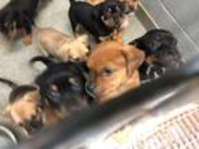 Adopt Shepherd Mix Puppies a Black - with Brown, Red, Golden