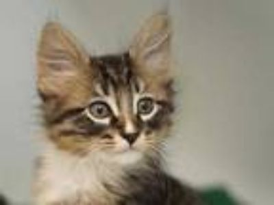 Adopt Duey a Gray or Blue Domestic Shorthair / Domestic Shorthair / Mixed cat in