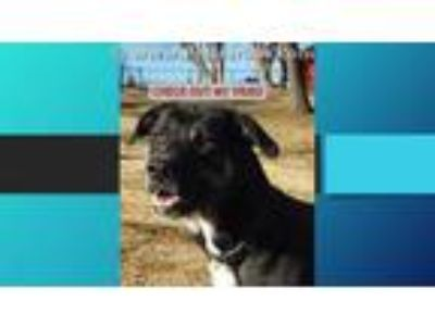 Adopt OWEN a Black Labrador Retriever / Mixed dog in Rogers, AR (21474016)