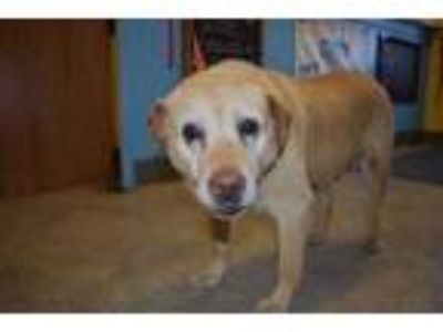 Adopt Lisa a Tan/Yellow/Fawn Labrador Retriever / Mixed dog in Millersburg