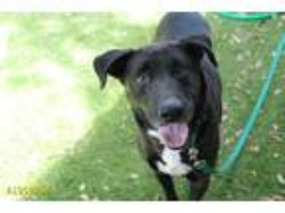Adopt PRINCE a Black - with White Labrador Retriever / Mixed dog in West Palm