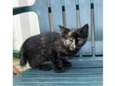 Adopt Esperanza a All Black Domestic Shorthair / Manx / Mixed cat in Haines