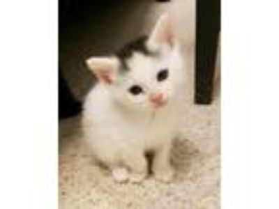 Adopt Sprite Babies a Domestic Short Hair