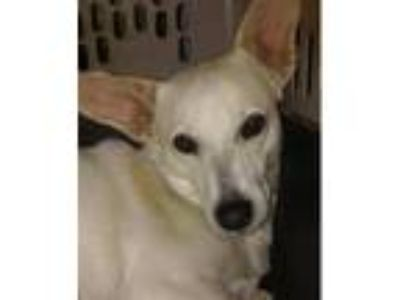 Adopt Bailey a White German Shepherd Dog / Mixed dog in Dana Point