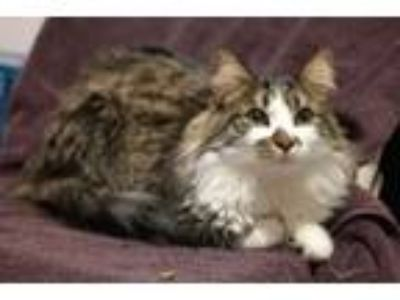 Adopt Simba a Norwegian Forest Cat, Maine Coon