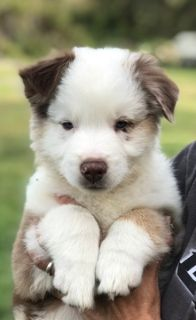 Australian Shepherd PUPPY FOR SALE ADN-107324 - AKC Australian Shepherd Puppies