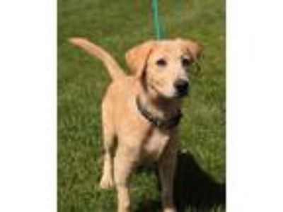 Adopt Polar a Golden Retriever