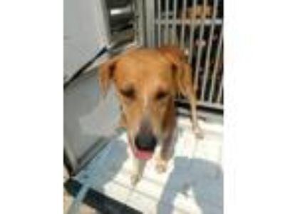 Adopt Shooting star a Brown/Chocolate Shepherd (Unknown Type) / Mixed dog in