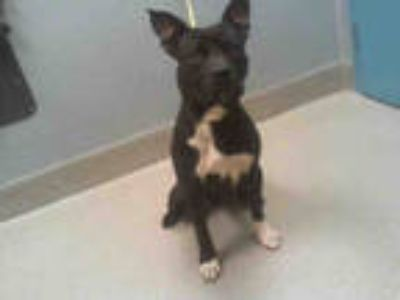 Adopt DRACO a Black - with White American Pit Bull Terrier / Mixed dog in Las