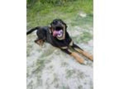 Adopt Niles a Black - with Brown, Red, Golden, Orange or Chestnut Hound (Unknown