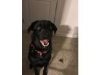 Adopt Junior a Black Shepherd (Unknown Type) / Labrador Retriever / Mixed dog in