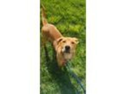 Adopt River a Labrador Retriever