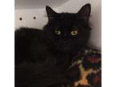 Adopt Mikey a All Black Domestic Longhair cat in Wilton, NY (25337646)