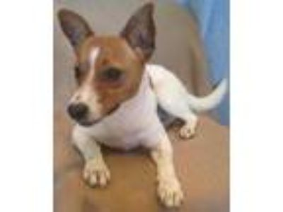 Adopt Toby a White Jack Russell Terrier / Mixed dog in New Albany, IN (25923723)