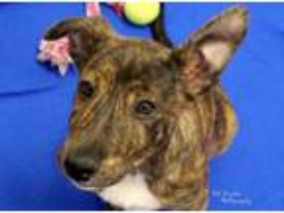 Adopt Mindy a Smooth Collie, Pit Bull Terrier