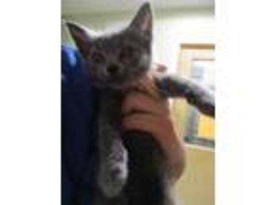 Adopt Lola a Gray or Blue Russian Blue / Domestic Shorthair / Mixed cat in