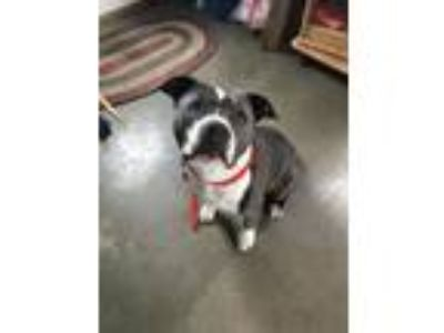 Adopt June Carter a Staffordshire Bull Terrier