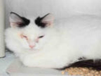 Adopt HILDA a White (Mostly) Domestic Mediumhair / Mixed (medium coat) cat in