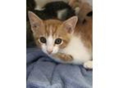 Adopt cutie a Orange or Red Domestic Shorthair / Domestic Shorthair / Mixed cat