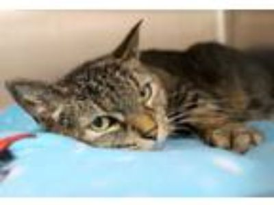 Adopt Cha Cha a Domestic Short Hair