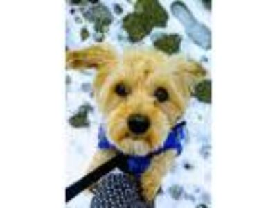 Adopt Ted a Yorkshire Terrier, Poodle