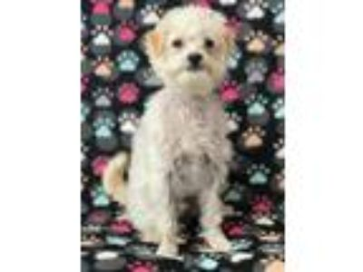 Adopt Snowflake a White Poodle (Miniature) / Mixed dog in Rancho Santa