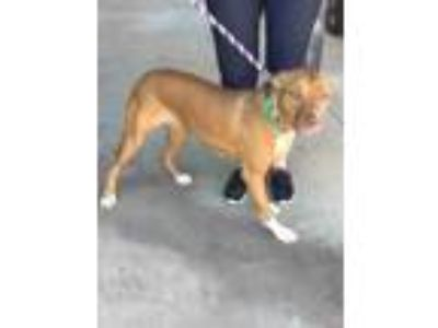 Adopt Queen a Red/Golden/Orange/Chestnut American Pit Bull Terrier / Mixed dog
