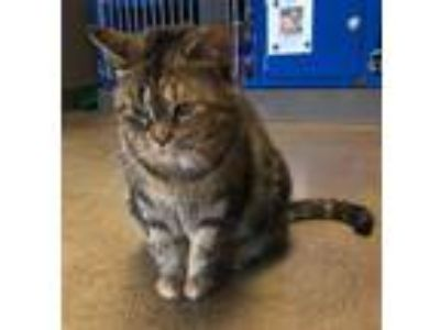 Adopt Keira a Domestic Short Hair
