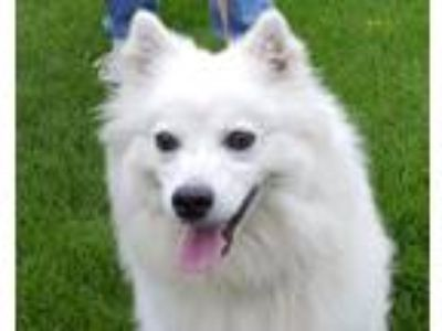 Adopt Snowy a White American Eskimo Dog / Mixed dog in Grayslake, IL (25569244)