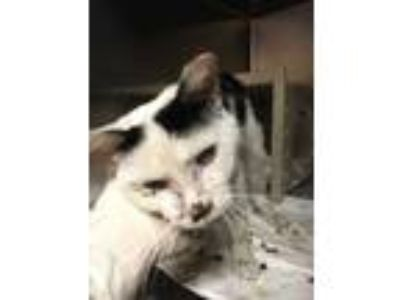 Adopt Icy a White Domestic Shorthair / Domestic Shorthair / Mixed cat in