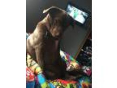 Adopt Mazi a Brown/Chocolate - with White Labrador Retriever / Mixed dog in