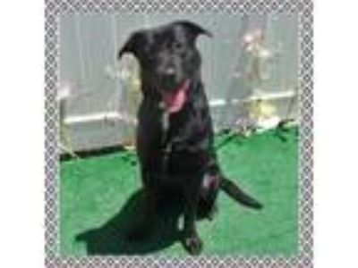 Adopt GEO a Black - with White Labrador Retriever / Mixed dog in Marietta