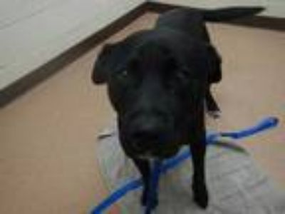 Adopt Bear a Black American Pit Bull Terrier / Labrador Retriever / Mixed dog in