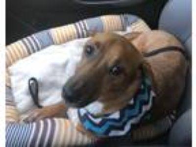 Adopt Carson a Dachshund, Beagle