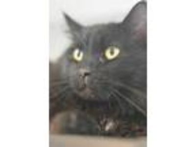 Adopt Jinx a All Black Domestic Longhair / Domestic Shorthair / Mixed cat in