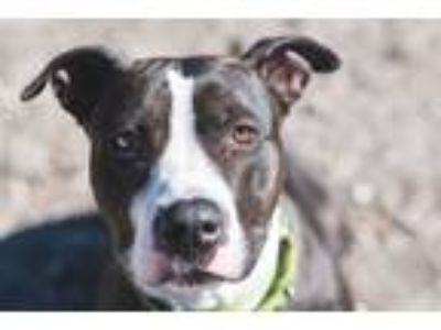 Adopt China a Black - with White Pit Bull Terrier / Mixed dog in Lompoc