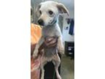 Adopt Bruce a White Rat Terrier / Mixed dog in Cleveland, AL (25290077)