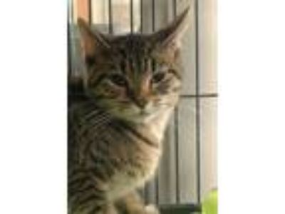Adopt Candie a Domestic Short Hair