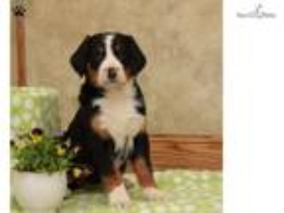 Tilly - Greater Swiss Mountain Dog