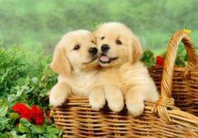 Golden Retrievers Puppies for Adoption