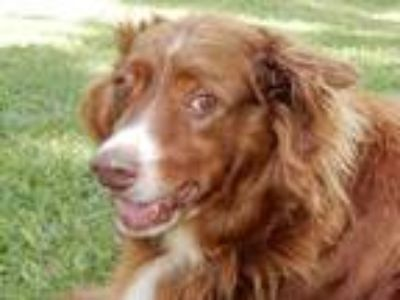 Adopt Copperfield 5903 a English Springer Spaniel, Australian Shepherd